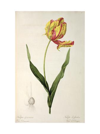 Tulipa Gesneriana Dracontia, from Les Liliacees, 1816