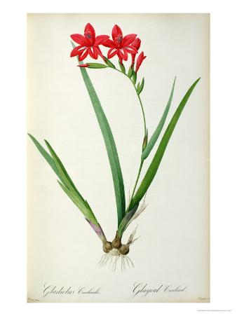 Gladiolus Cardinalis, from Les Liliacees