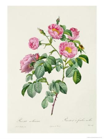 Rosa Mollissima, from Les Roses by Claude Antoine Thory