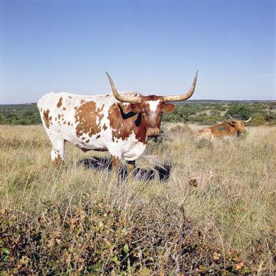 Texas Longhorn Breed