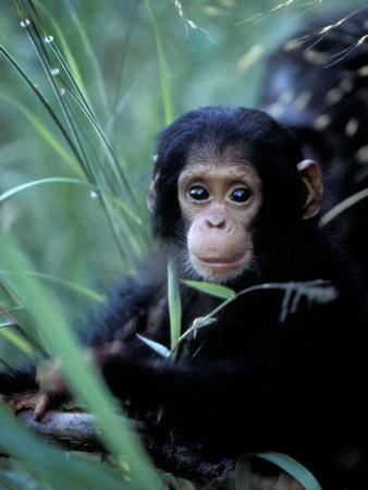 Infant Chimpanzee, Gombe National Park, Tanzania