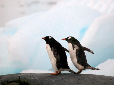 Gentoo Penguins on Rocky Shore, Antarctica
