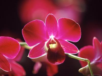Orchid, Malaysia