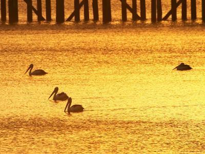 Sunrise and Pelicans by Urangan Pier, Hervey Bay, Queensland, Australia