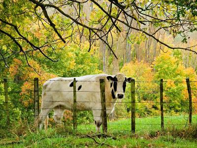 Cow and Farmland, Taoroa Junction, Rangitikei, North Island, New Zealand