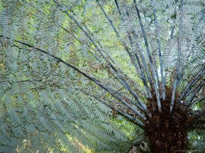 Silver Fern Fronds, North Island, New Zealand