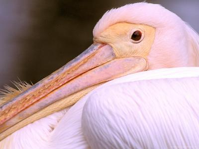 Pink-Backed Pelican, Delta Dunarii, Romania