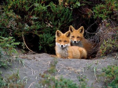Den of Red Foxes, Kamchatka, Russia