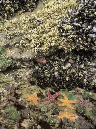 Mussels, Gooseneck Barnacles, Pisaster Sea Stars and Green Anemones on the Oregon Coast, USA