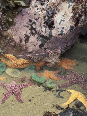 Giant Green Anemones and Ochre Sea Stars, Cape Kiwanda State Park, Oregon, USA