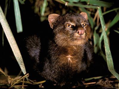 Jaguarundi, Amazon, Ecuador