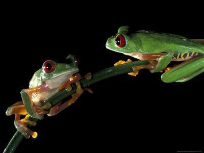 Red-Eyed Tree Frogs, Barro Colorado Island, Panama