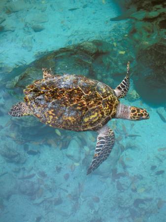 Green Turtle, Bocas Del Torro Island, Panama