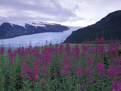 Fireweed in Aialik Glacier, Kenai Fjords National Park, Alaska, USA