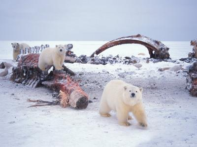 Polar Bear Sow with Spring Cubs Scavenging on a Bowhead Whale, Alaska, USA