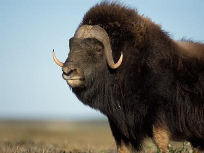 Musk Ox Bull on the North Slope of the Brooks Range, Alaska, USA
