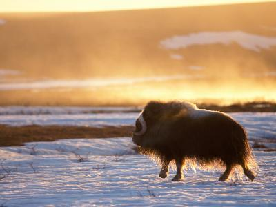 Muskox Bull Silhouetted at Sunset, North Slope of the Brooks Range, Alaska, USA
