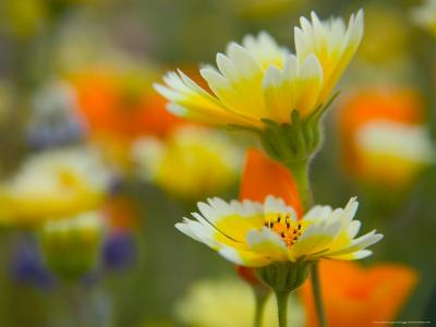 Tiddy Tips and Poppies, Shell Creek, California, USA