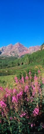 Fireweed in Spring with Maroon Bells, Colorado, USA