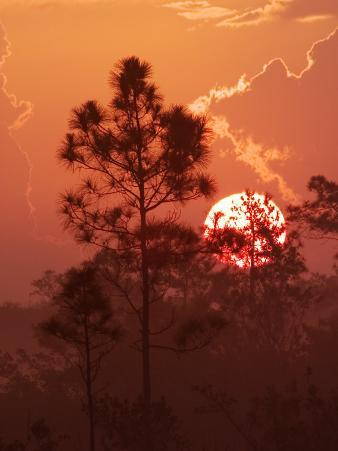 Pines Silhouetted at Sunrise, Everglades National Park, Florida, USA