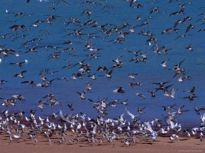 Eastern Curlew (Numenius Madagascariens) at Roebuck Bay Near Broome, Australia