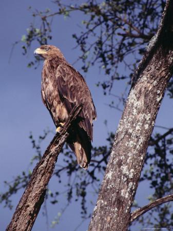 Tawny Eagle (Aquila Rapax) Perched in Tree, Masai Mara National Reserve, Rift Valley, Kenya