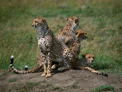 Mother Cheetah (Acinonyx Jubatus) with Cubs, Masai Mara National Reserve, Rift Valley, Kenya