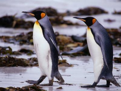 King Penguins (Aptenodytes Patagonicus) Walking, Falkland Islands