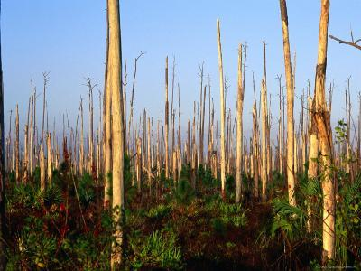 Hurricane Damage to Forest, Everglades National Park, USA