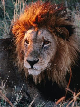 Portrait of Lion (Panthera Leo) in Sun, Xakanaxa, Moremi Wildlife Reserve, Botswana