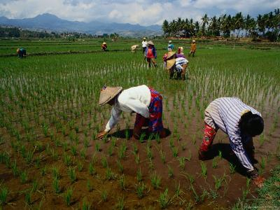 Farmers Planting Rice in a Paddy Near Tanjung, Lombok, West Nusa Tenggara, Indonesia