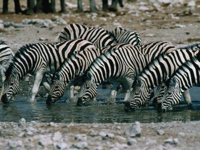 Zebras (Equus Burchellii) Drinking from Waterhole, Etosha National Park, Namibia