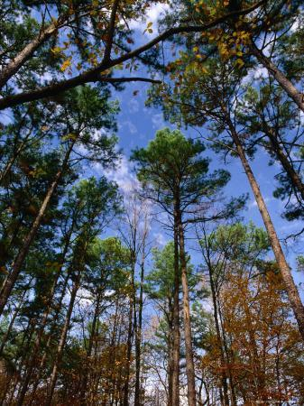 Looking Skywards Through Trees, Shawnee State Forest, USA