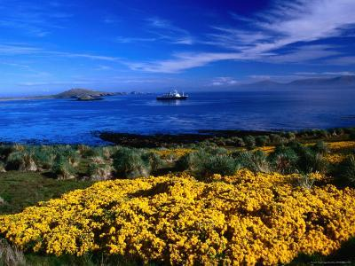 Flowering Gorse, Evergreen Shrub, with a Distant Antartic Cruise Ship Off-Shore, Falkland Islands