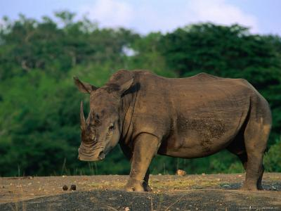 White Rhinoceros (Ceratotheruefn Semum), Hluhluwe-Umfolozi Park, South Africa