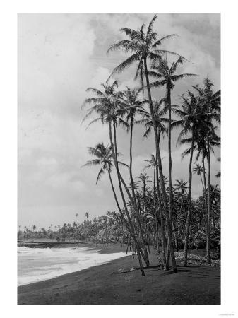 Coconut Palms - Hawaiian Islands Photograph