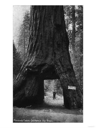 View of Pioneers Cabin, Giant Redwood - Calaveras County, CA