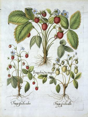 Three Varieties of Strawberry, Plate 116, from Hortus Eystettensis by Basil Besler