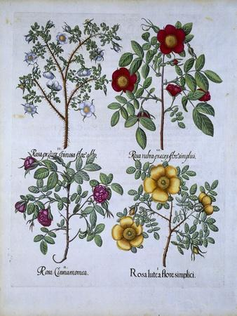 Roses, Plate 98 from Hortus Eystettensis by Basil Besler