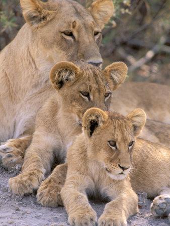 Lioness and Cubs, Okavango Delta, Botswana