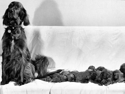 Wendy My Pride a Red Setter with a Litter of Eleven New Born Puppiesy London, December 1968
