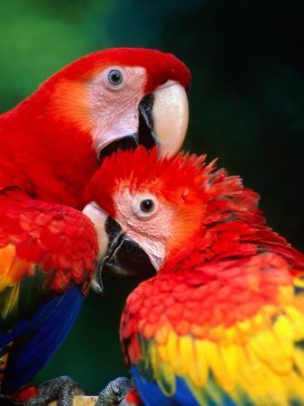 Pair of Preening Scarlett Macaw (Ara Macao), Puntarenas, Costa Rica