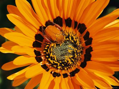 South African Monkey Beetle Burrows Deep Into a Gazania Flower