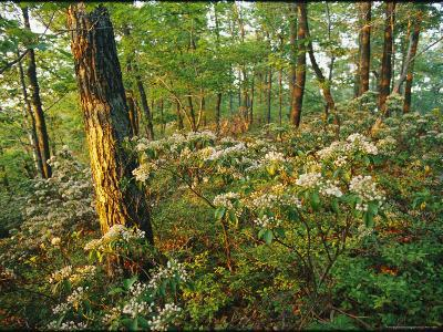 Mountain Laurel Blooming in a Hyner View State Park Forest