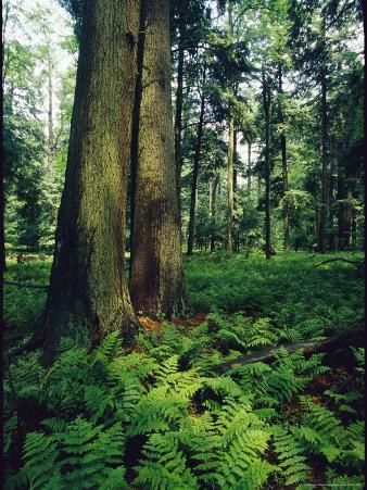 Ferns Blanket the Floor of an Old Growth Hemlock Forest