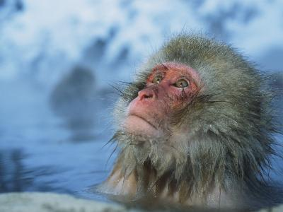 Japanese Macaque, or Snow Monkey, Soaking in a Hot Spring