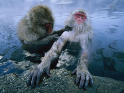 Two Japanese Macaques, or Snow Monkeys, Enjoy a Dip in a Hot Spring