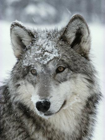 Dusting of Snow Lies on the Face of a Gray Wolf, Canis Lupus