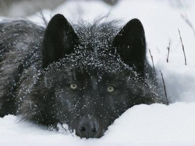 Covered with Snow Flakes, a Gray Wolf, Canis Lupus, Rest in More Snow