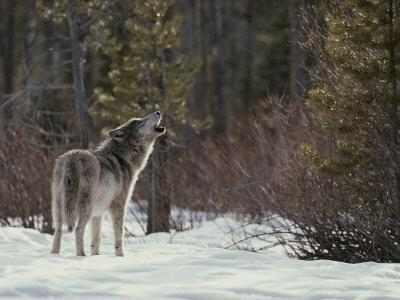 Lone Gray Wolf, Canis Lupus, Howls at the Edge of a Forest